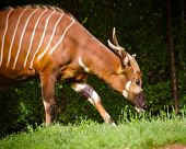 stock photo of bongo  - Portrait of striped African Bongo antelope outdoors - JPG