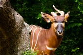 stock photo of bongo  - Portrait of striped African Bongo antelope outdoors - JPG