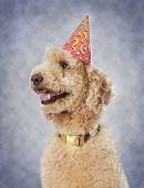 stock photo of birthday hat  - cute poodle dog wearing nice party hat - JPG