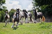 foto of gypsy  - Gypsy Vanner or Irish Cob horses running down hillside toward the camera - JPG