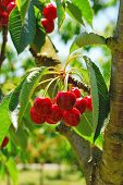 picture of bing  - Bing Cherries ready to be picked at Brozio Orchards in Winston Oregon just south of Roseburg - JPG