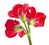 foto of geranium  - one geranium pelargonium head close up macro shot isolated on white background - JPG
