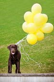 image of chocolate lab  - brown labrador retriever breed dog outdoors summer - JPG