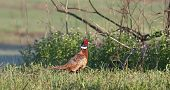 pic of pheasant  - A Ring - JPG