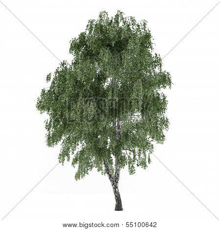 Tree isolated. Betula birch