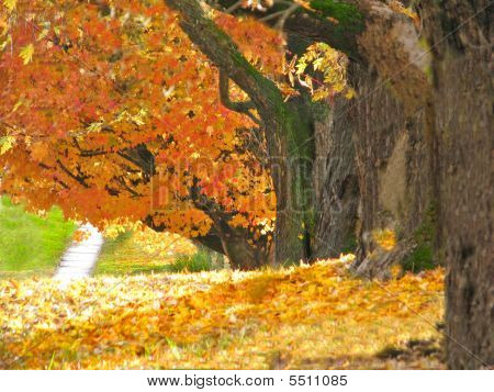 Large Trees Autumn Leaves
