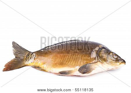 Fresh common Carp fish Isolated on White Background
