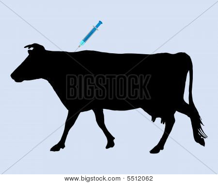 Cow Gets An Inoculation Against Blue Tongue Disease
