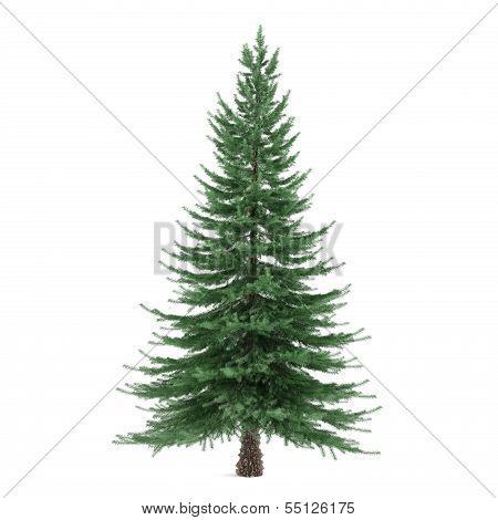 Tree isolated. Picea fir-tree