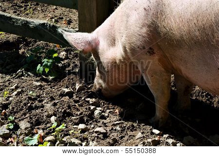 Pig Snout Digging In Mud