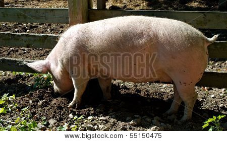 Pig Digging In Mud