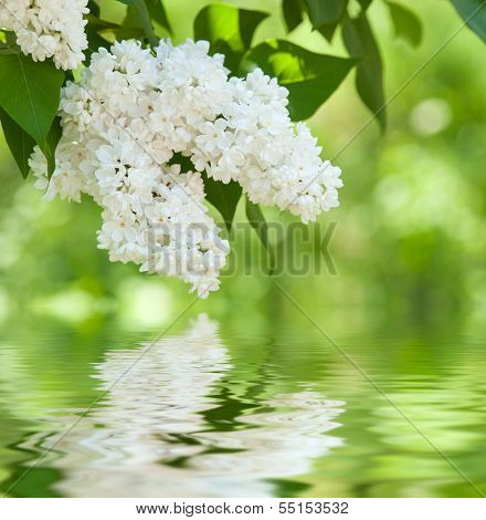 white flower lilac reflected in water