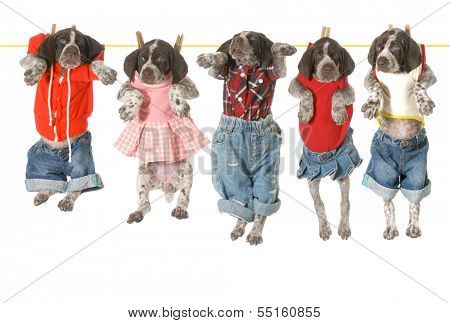 puppies on a clothesline - german shorthaired pointer puppies hanging on a clothesline - 7 weeks old