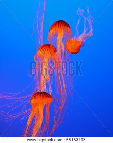 Four small picturesque red-orange jellyfish in the aquarium. Dark-blue water beautifully lit