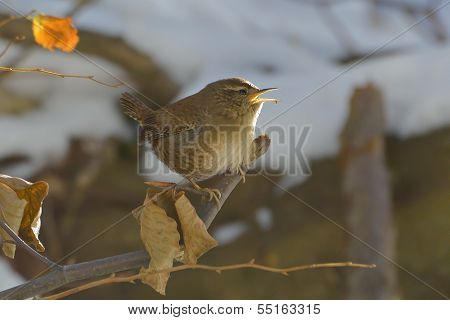 House Wren Perched On Tree Branch With In A Nature