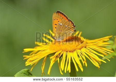 Butterfly (lycaena Dispar)