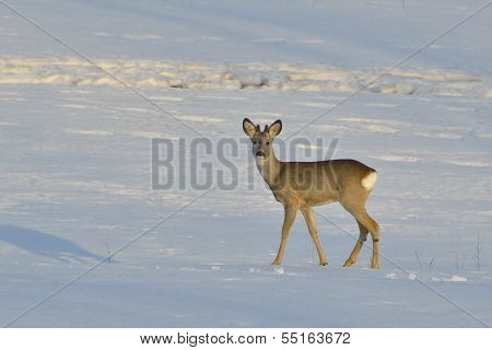 Deer In Winter In A Sunny Day