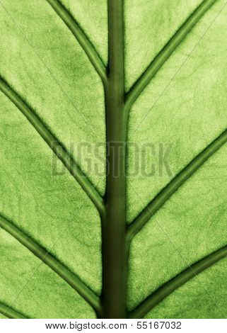 Alocasia Machrorhiza