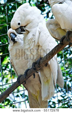 Couple of White Cockatoo Parrots
