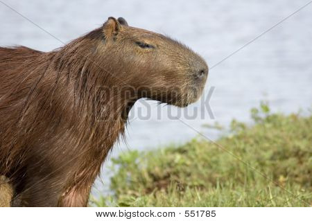 Carpincho (Capibara)
