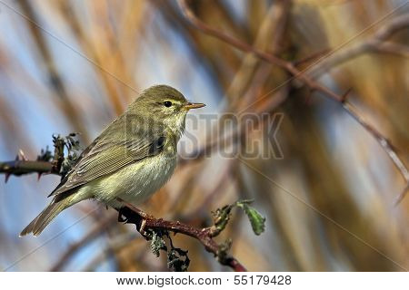 A Willow Warbler (Phylloscopus trochilus).