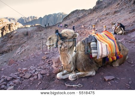 Happy Resting Camel