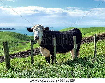 Cattle On Green Hills In Front Of The Sea