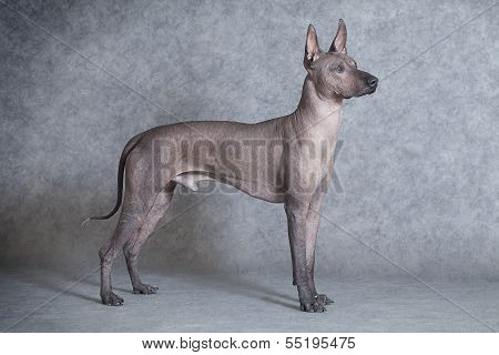 Xoloitzcuintle Dog Against Grey Background