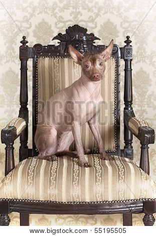 Xoloitzcuintle Dog Sitting On An Antique Chair
