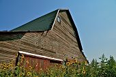 An old hip roofed barn surrounded by wild sunflowers
