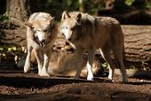 Wild Animal Wolf Pair Standing Playing North American Wildlife