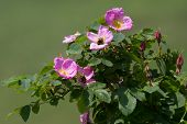 image of wild-brier  - dog rose flowers in the wild close - JPG
