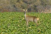 picture of cleaving  - Deer in a autumn in sunny day - JPG