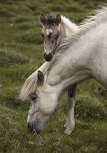picture of iceland farm  - Icelandic horse grazing and colt at Vatnsnes Peninsula Iceland - JPG