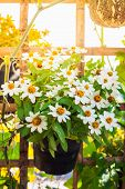 picture of zinnias  - Beautiful white Narrowleaf Zinnia or Classic Zinnia flowers on background with sunshine - JPG