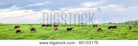 Cows Grazing In A Meadow In Spring