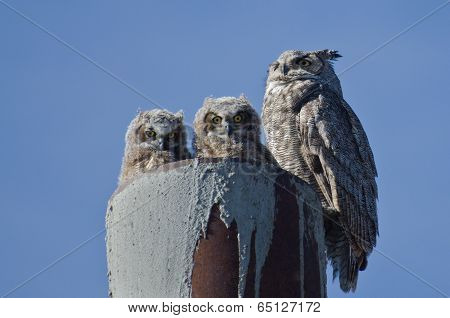 Great Horned Owl Nest With Two Owlets