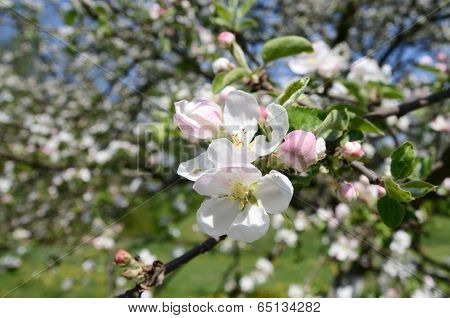 Apple-tree flowers