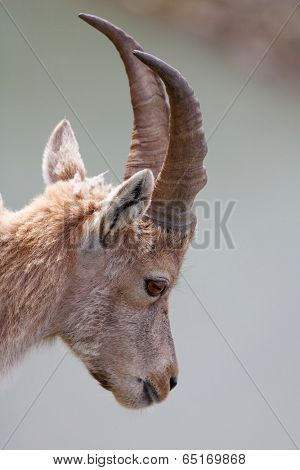 Ibex in Aiguilles Rouges Reservation, France