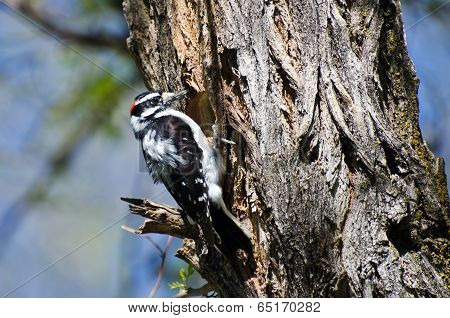 Downy Woodpecker Building Its Home