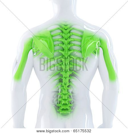 Male Backbone. 3D Anatomical Illustration. Isolated. Contains Clipping Path