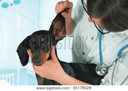 Veterinarian Examines Ear Of A Dog