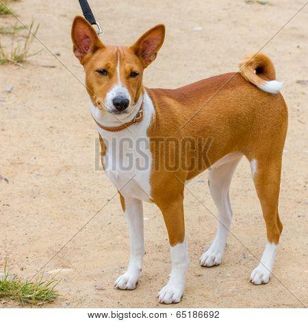 Red Hunting Dog Basenji Breed
