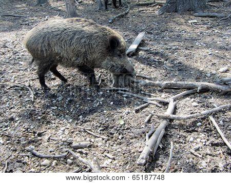 Wild Boar From Nearby
