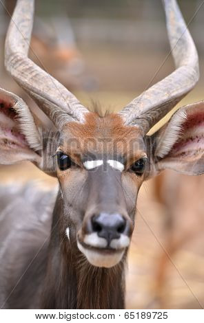 Close Up Of Male Nyala Head
