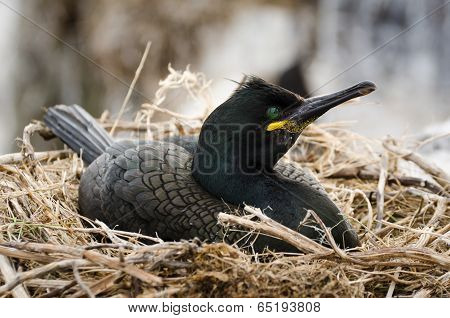 European Shag On Nest