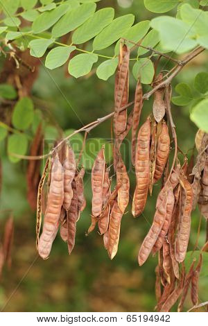 some brown seed pods on a plant outdoors