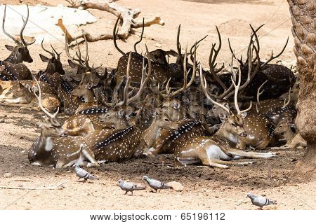 A herd of deer taking shelter/refuge under trees during a scorching summer afternoon