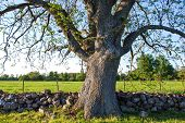 picture of ash-tree  - Big old ash tree at a stonewall in a rural landscape - JPG