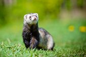 image of ferrets  - adorable ferret pet walking outdoors in summer - JPG